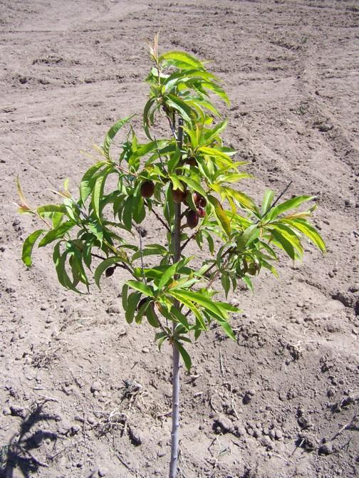 pfirsichbaum pflanzen pfirsichbaum pflanzen die wichtigsten infos auf einen blick einen. Black Bedroom Furniture Sets. Home Design Ideas